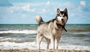 stockvault-siberian-husky-dog-on-beach131807-510x300